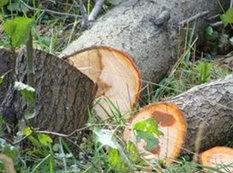 Yasamalda ağac kəsənlər barəsində məlumatlar şəhər prokurorluğuna göndərildi