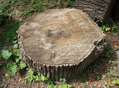 """Tut ağacını kəsdi, <span class=""""color_red"""">2 min manat cərimələndi</span>"""