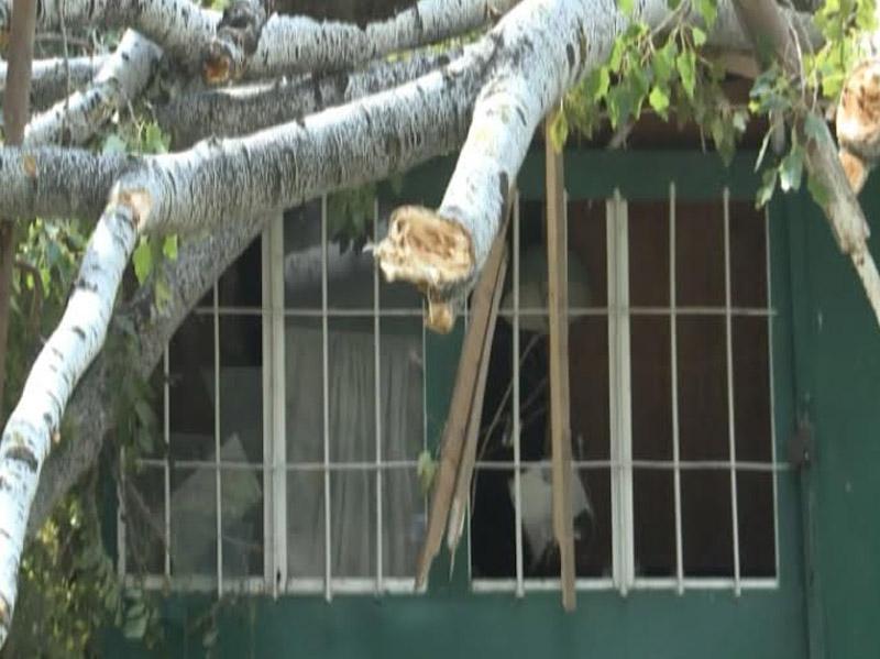 Lənkəranda ağac aşaraq elektrik xətlərini sıradan çıxardı: 3 bina işıqsız qalıb